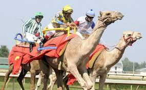 camel racing 1